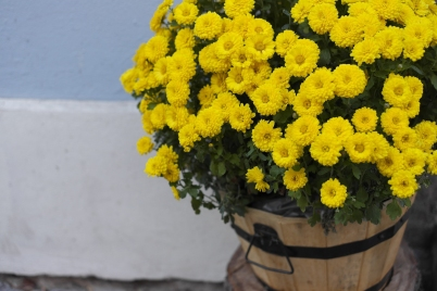 chrysanthemum-991625_1920